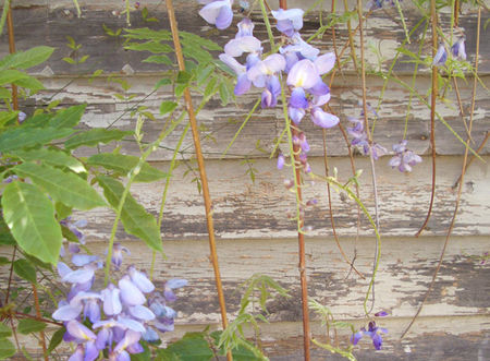 Pathway_wisteria_shed