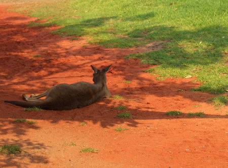 Kangaroo_6