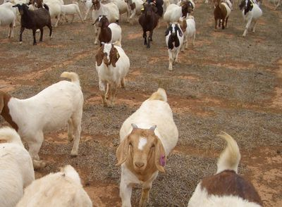 Here_come_goats6