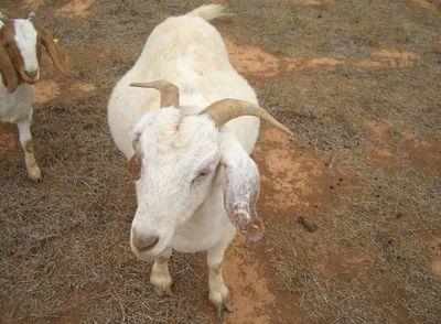 Goats_06