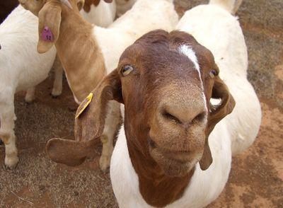 Goats_11