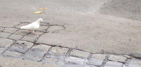 White_bird_stroll_1