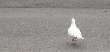 White_bird_stroll_4