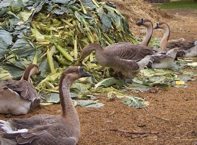 Collingwood_geese02