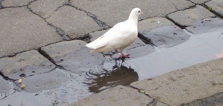 White_bird_stroll_3