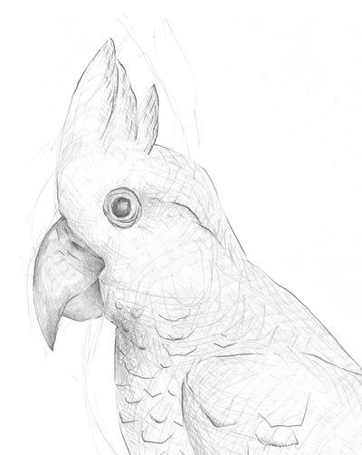 Jennison_birddrawing4