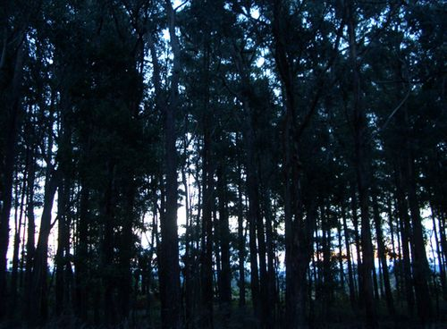 Tall_trees_dusk