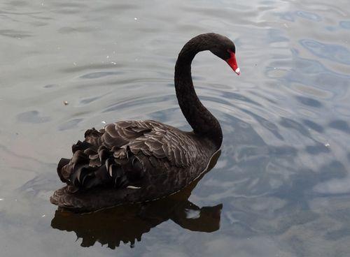 Swan_lake01