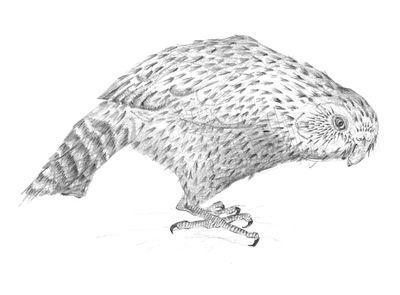 Jennison_kakapo
