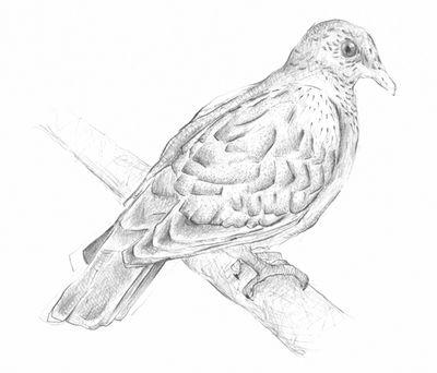 Jennison_pigeon