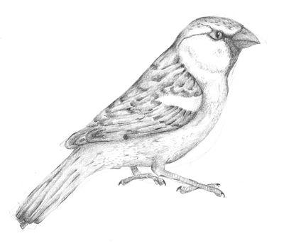 Jennison_house_sparrow