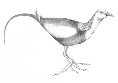 Jennison_pheasant_tailed_jacana
