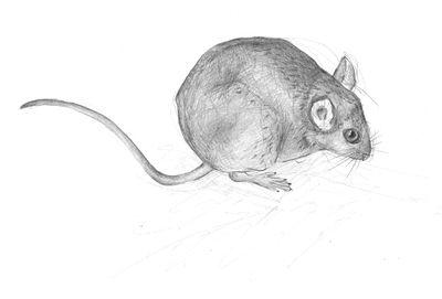 Jennison_yellow_necked_mouse