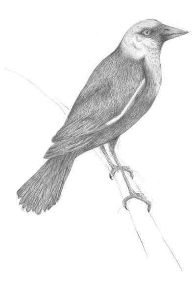 Jennison_yellow_headed_blackbird