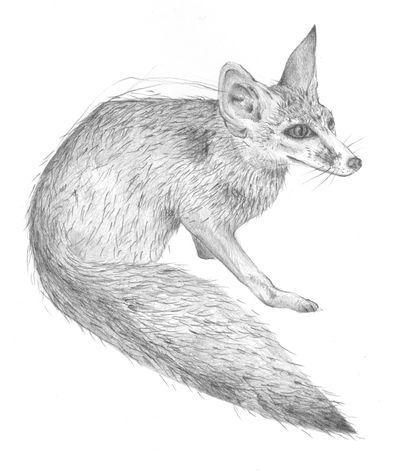 Jennison_blanfords_fox