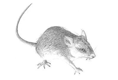 Jennison_wood_mouse