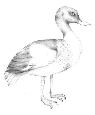 Jennison_common_duck