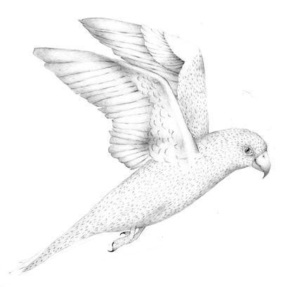 Jennison_parrot