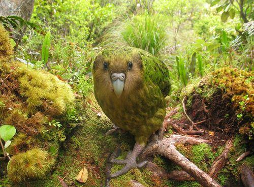 Gracialouise_kakapo