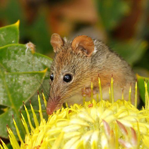 Gracialouise_honeypossum02