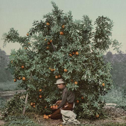 Gracialouise_orange_harvest