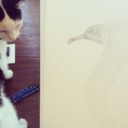 Gracialouise_sooty_albatross