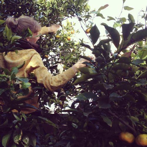 Gracialouise_mandarin_harvest