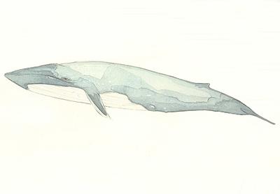 Blue_whale_2