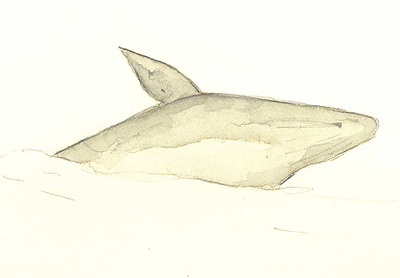 Gray_whale_2