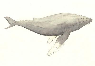 Humpback_whale_1_2