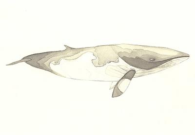 Minke_whale