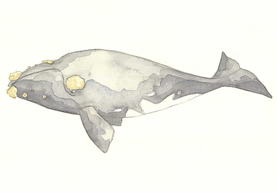 Right Whale Drawing