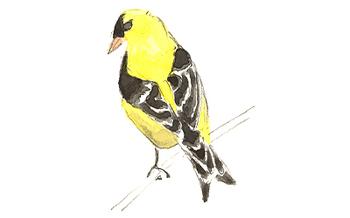 American_goldfinch