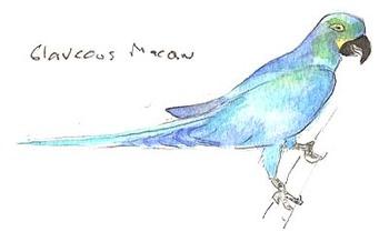 Glavcous_macaw