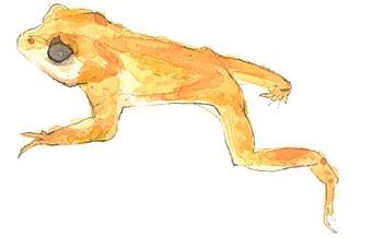 Golden_toad_2