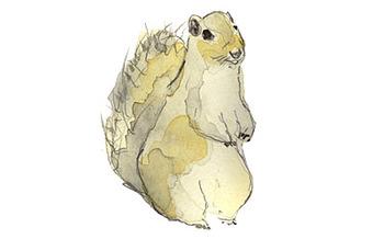 Grey_squirrel_1