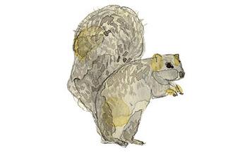 Grey_squirrel_3