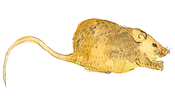 Hickory_mouse
