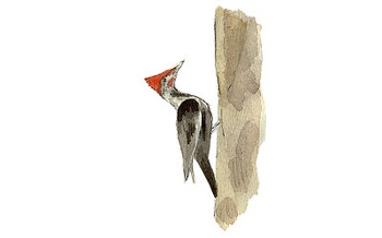 Pileated_woodpecker