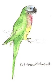 Red_breasted_parakeet