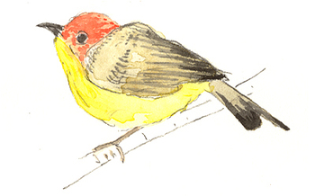 Yellow_breasted_warbler