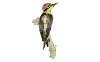 Yellow_fronted_woodpecker