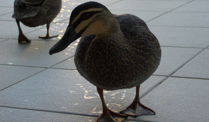Waiting_duck3