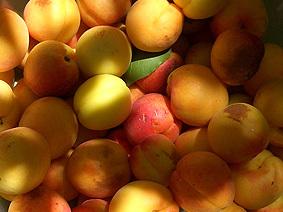 Apricot_delight_harvest