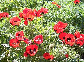 Ballarat_red_poppy_1
