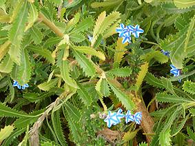 Fri_blue_flower