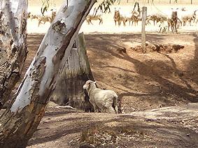 Starnaud_sheep1