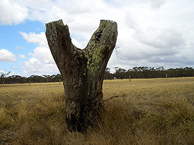 Starnaud_tree_stump