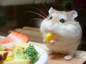 Hamsterin maceralari