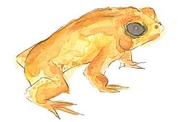 elsewhere the golden toad
